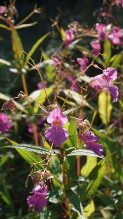 Das drüsige Springkraut, die Ambrosia, das Jakobskreuzkraut oder der noch immer in Gartenzentren verkaufte Kirschlorbeer: Sie alle gehören zu den invasiven Pflanzen, den Neophyten. (Foto: DBU)
