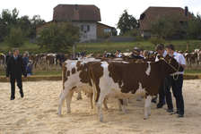 Grosse Viehschau im Bucheggberg