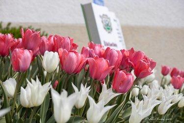 1 Tulpe für das Leben 2019 in Chardonne (VD)