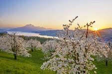 Küssnacht, Kirschblüte