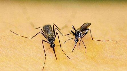 Die Asiatische Buschmücke (links) und die Asiatische Tigermücke (rechts) • Foto: Ary Farajollahi/Invasive.org