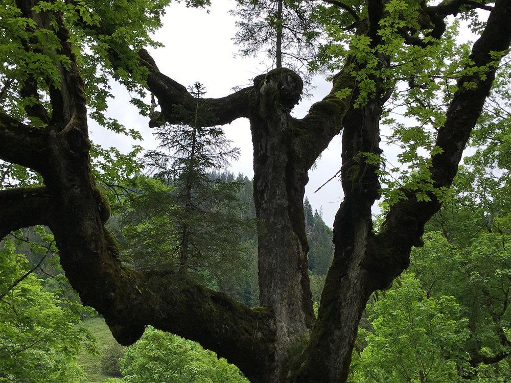 s «t'Anneli» auf dem Ast des Ahornbaums im Richisau