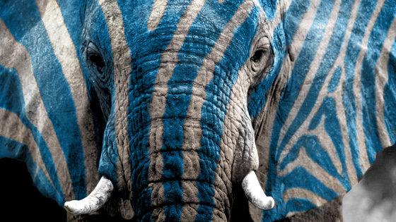 Die Zebrafanten sind in Zug.