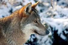 Wolf_paukereks_pixelio