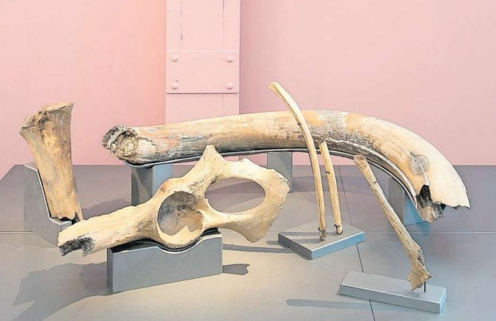 Die Mammutfunde aus Rotkreuz werden von Mitte Januar bis Mitte April im Museum für Urgeschichte erstmals ausgestellt. (Bild PD)