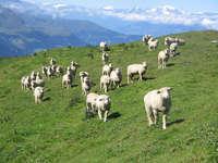 Tierschau Schafe