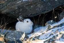 Bild-Schneehasen