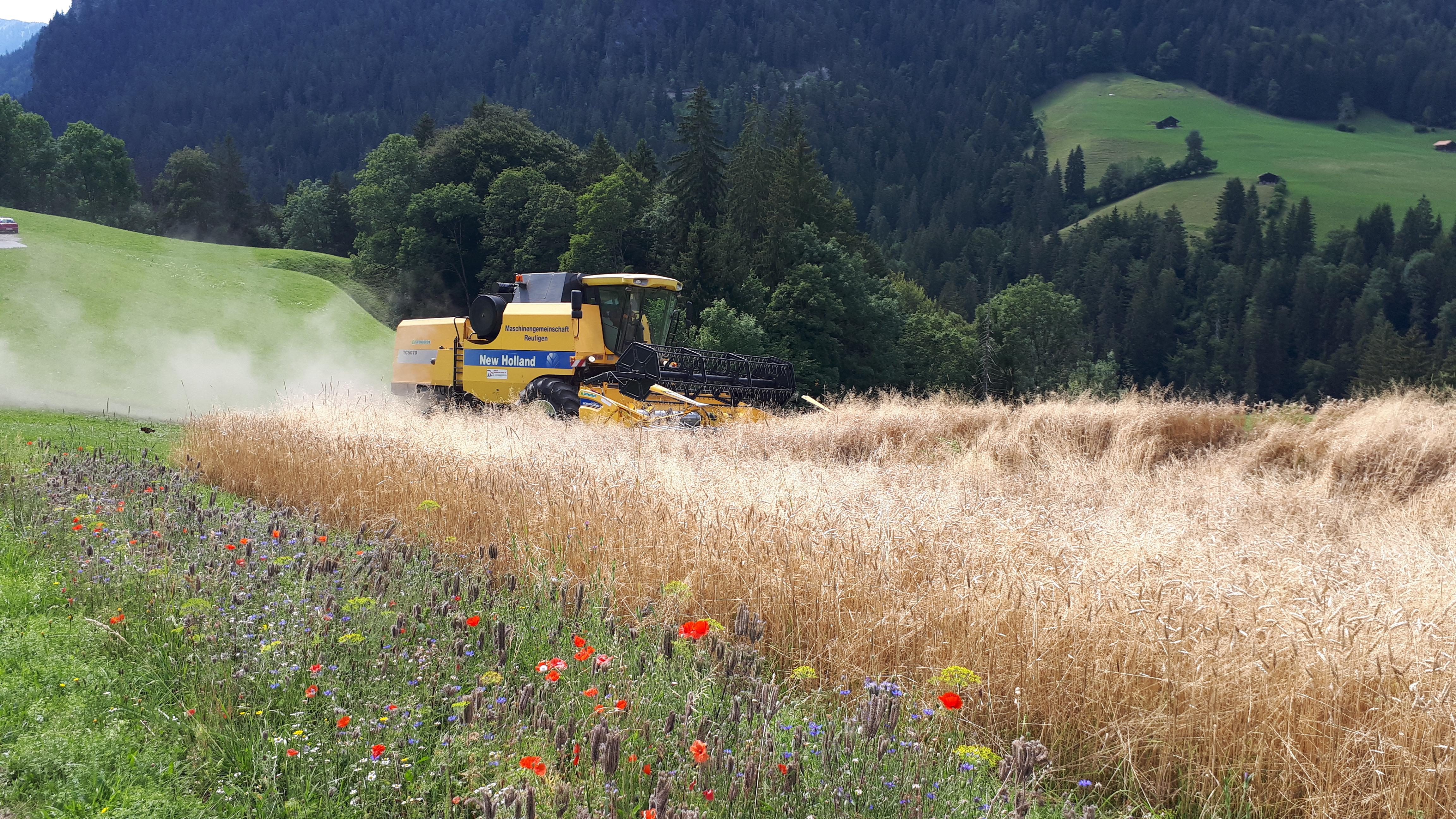 Getreideanbau im Diemtigtal - Innovation oder Illusion?