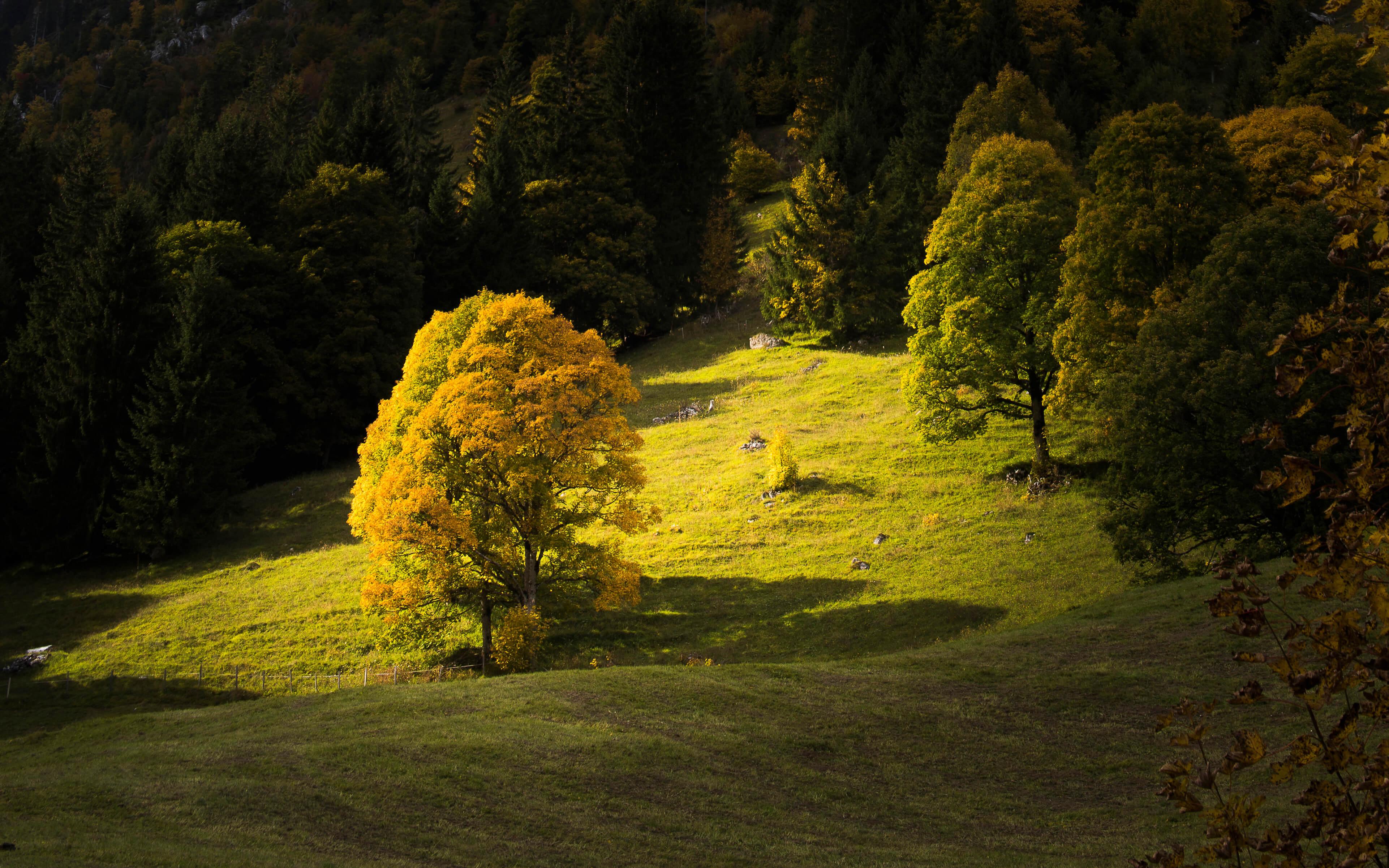 Bergahorn im Naturpark Diemtigtal