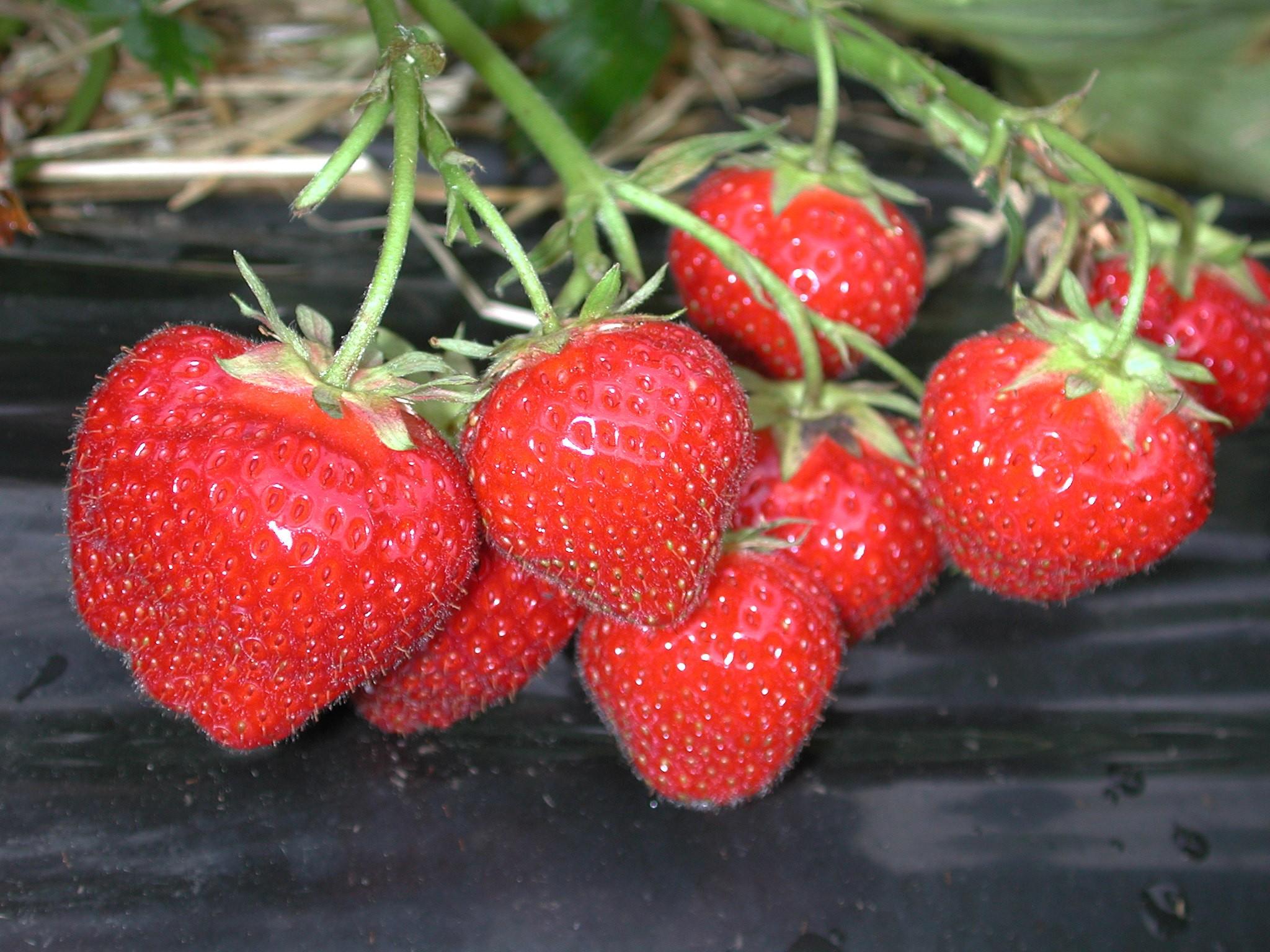 Erdbeeren die Königin der Früchte