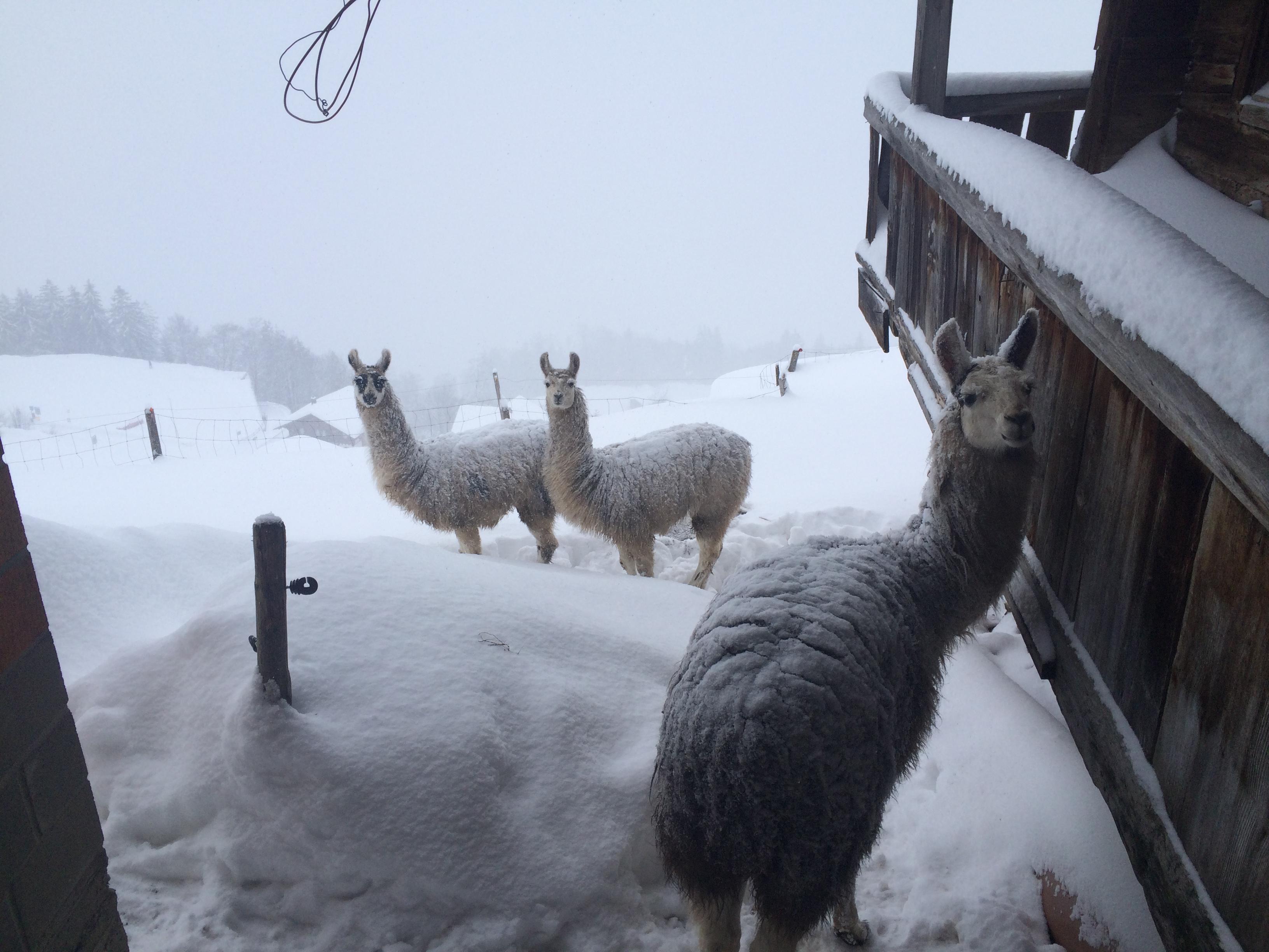 Lama-Winterwandern