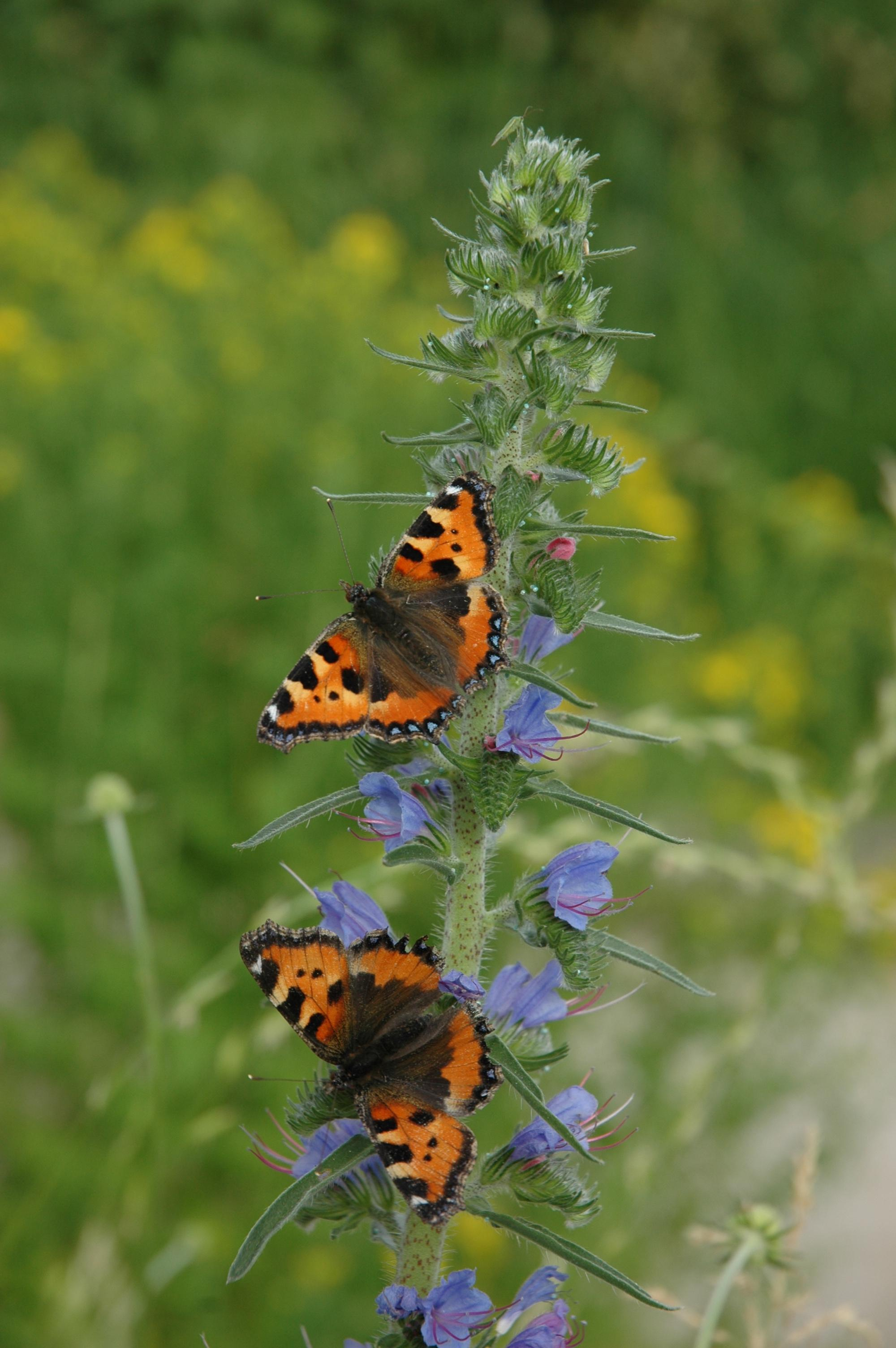 Spittelers Schmetterlingsweg