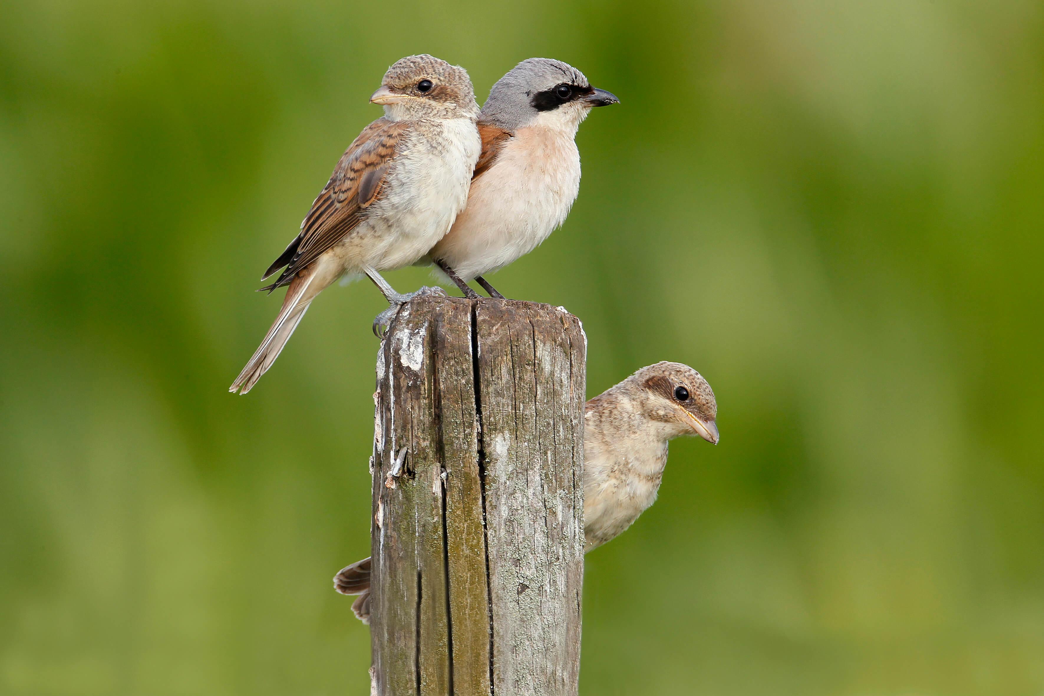 Neuntöter mit Beobachtung der Jungvögel